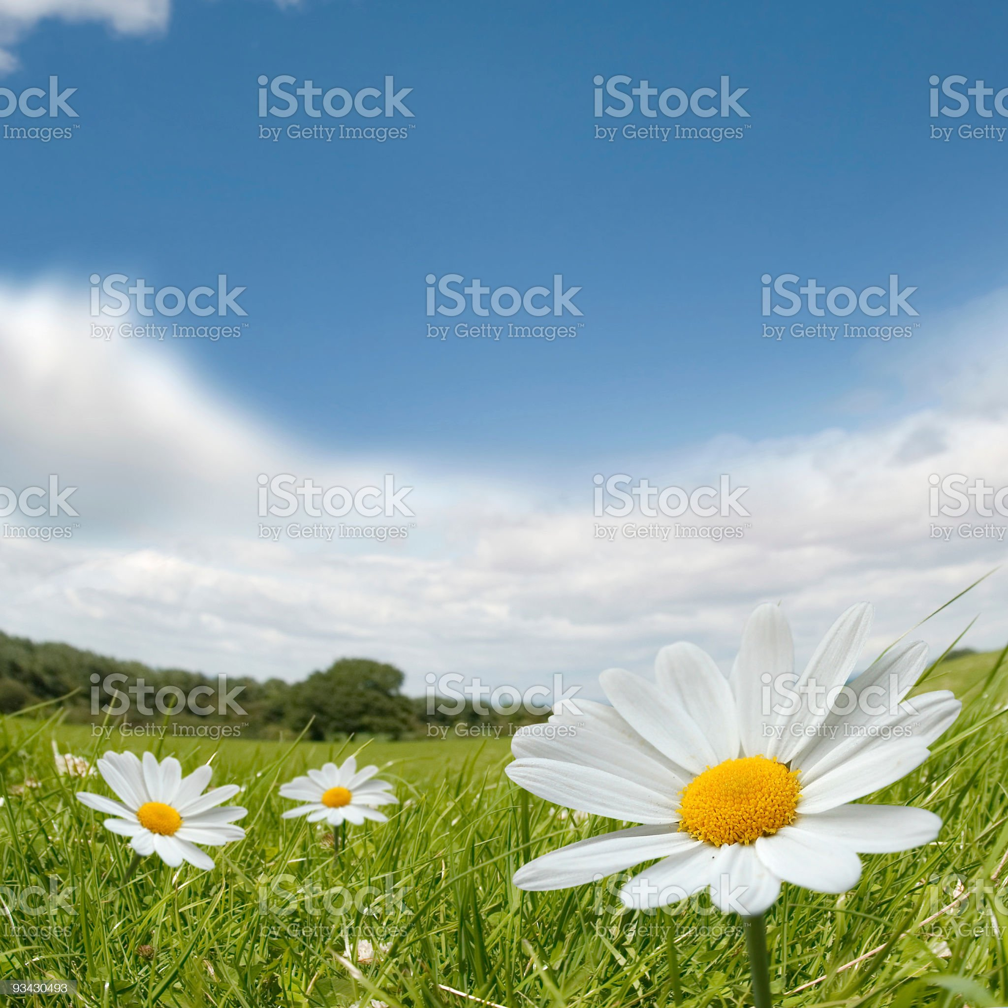 Camomile Summer Landscape royalty-free stock photo