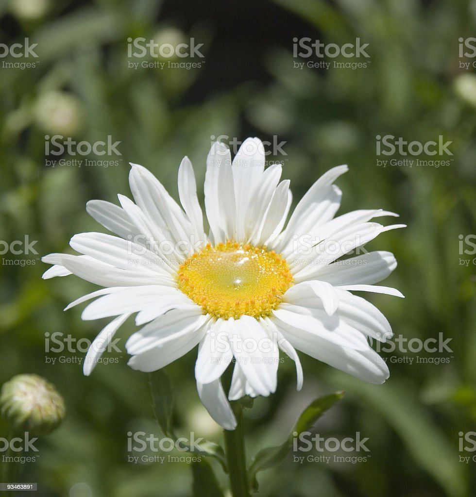 Camomile with dew 3 royalty-free stock photo