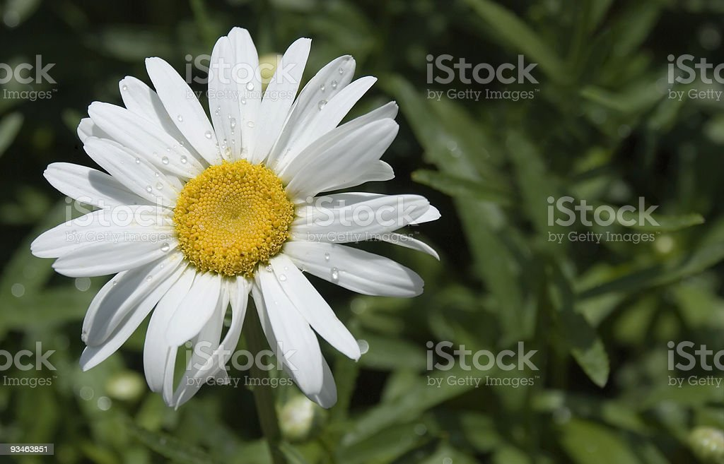 Camomile with dew royalty-free stock photo