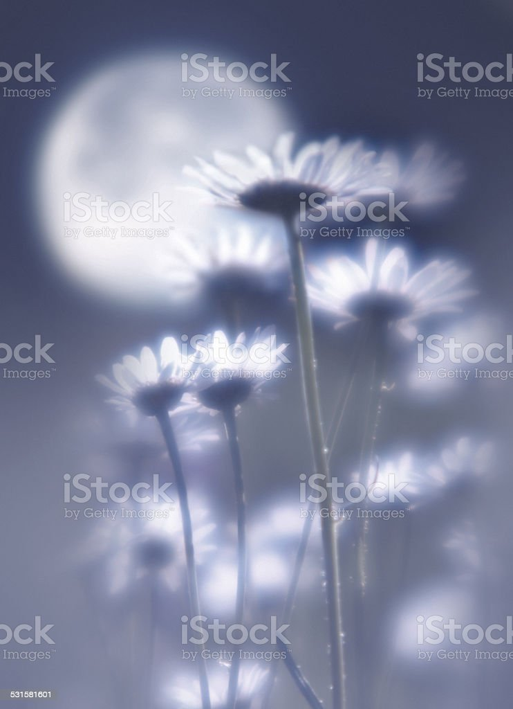 Camomiles against the moon removed by oft focus lens. stock photo