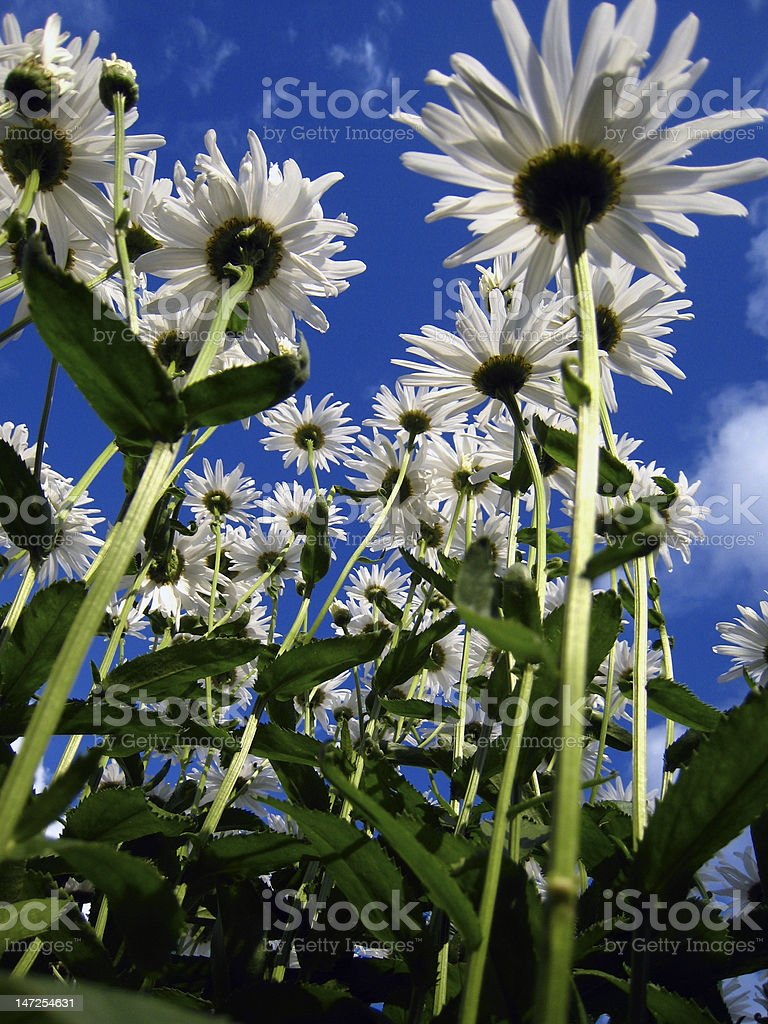 Camomiles and blue sky royalty-free stock photo