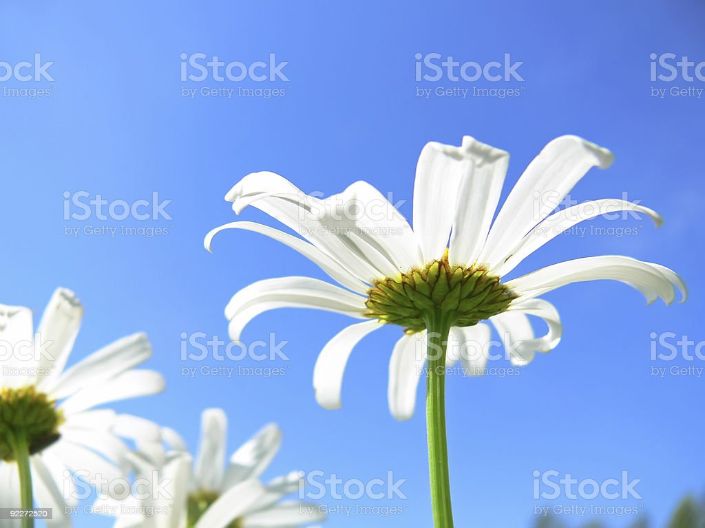 Camomiles and sky royalty-free stock photo