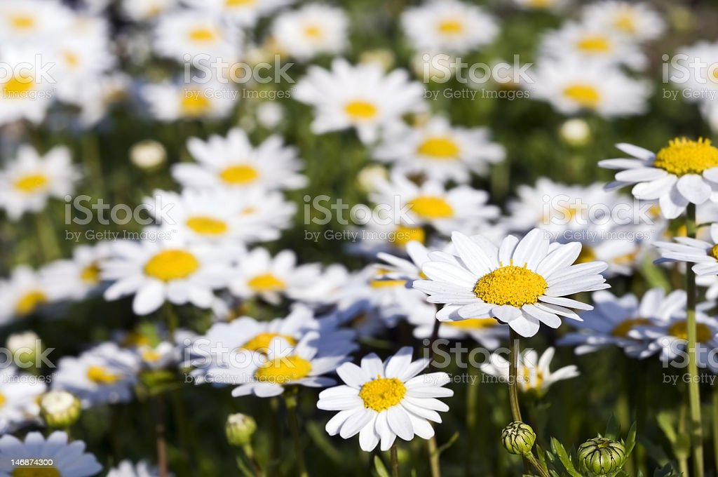 Camomile's field royalty-free stock photo
