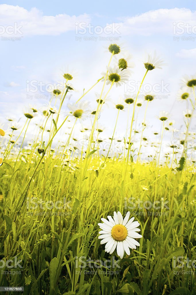 Camomiles on a meadow royalty-free stock photo