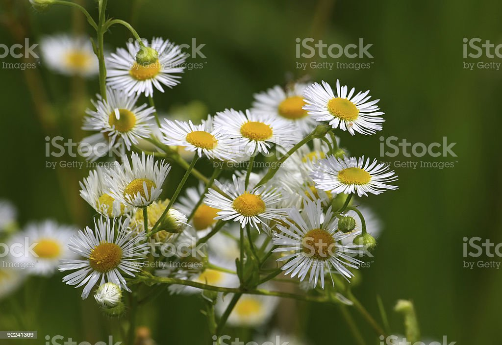 Camomiles royalty-free stock photo