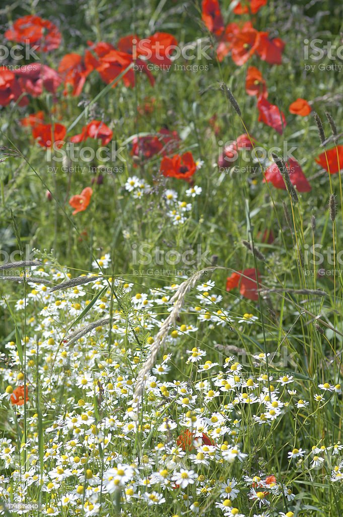 Camomille and poppy flowers stock photo