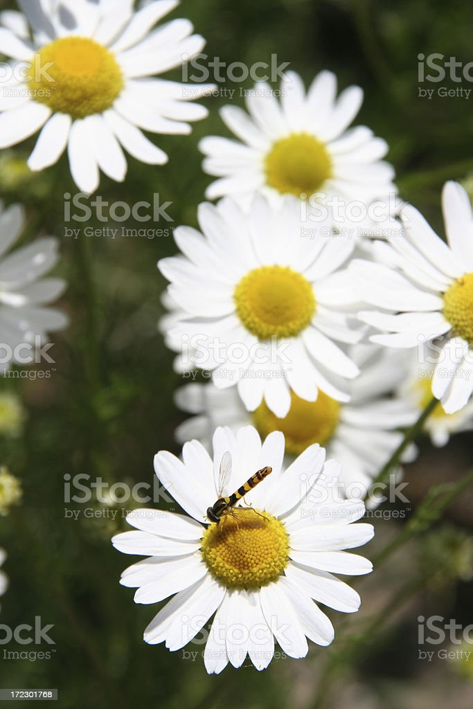 camomille flowers with insect royalty-free stock photo