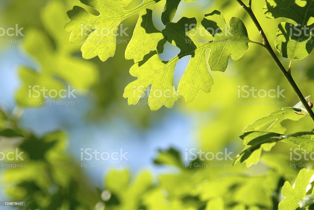 Camouflage Spring Green Oak Leaves royalty-free stock photo