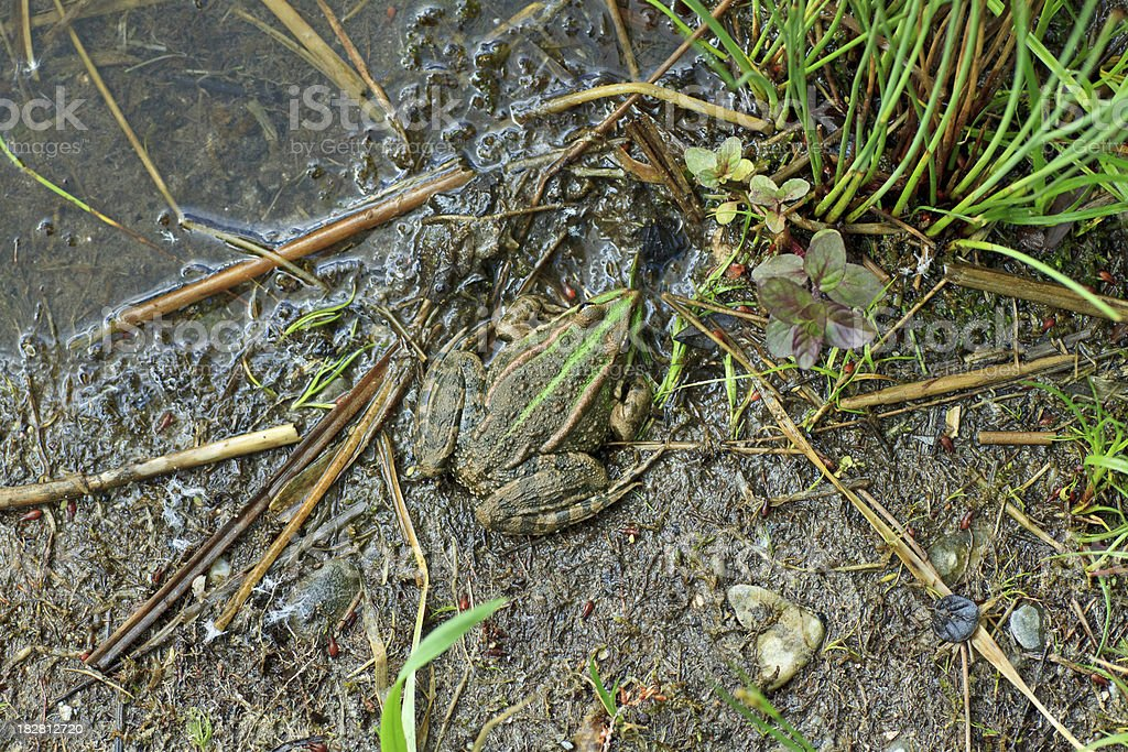 Camouflage - Waterfrog (Rana esculenta) in the mud stock photo