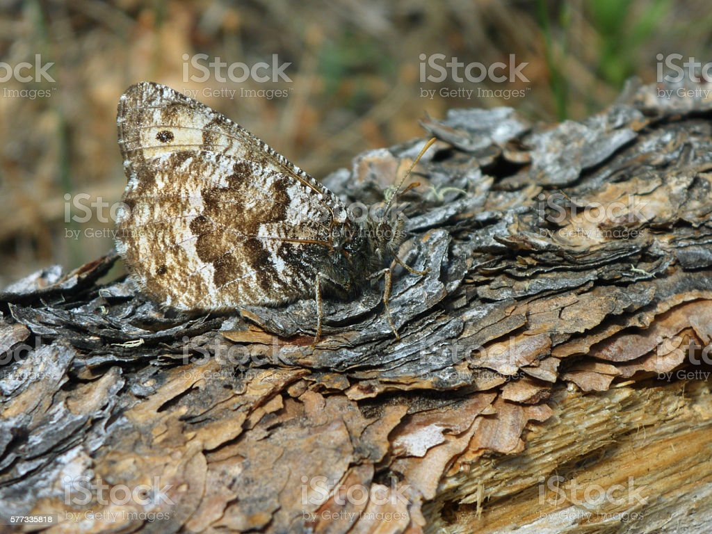 Camouflaged arctic butterfly Mount Evans Wilderness Colorado Rocky Mountains stock photo