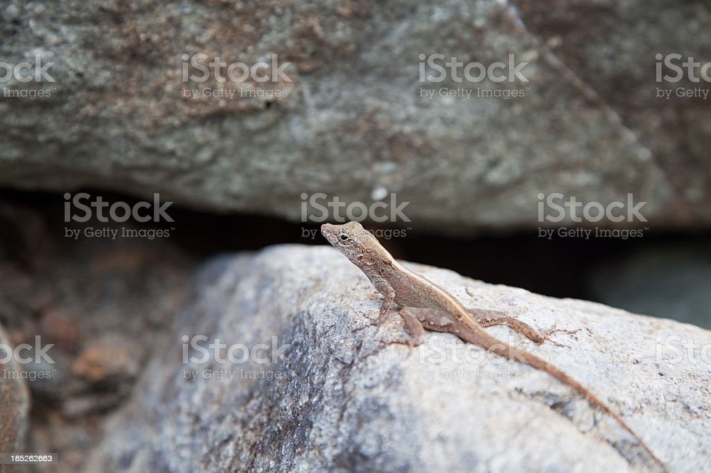 Camouflaged brown reptile amongst large rocks Virgin Islands stock photo