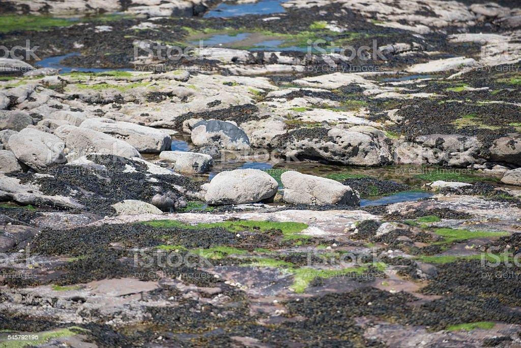 Camouflaged duck family, Northumberland UK stock photo