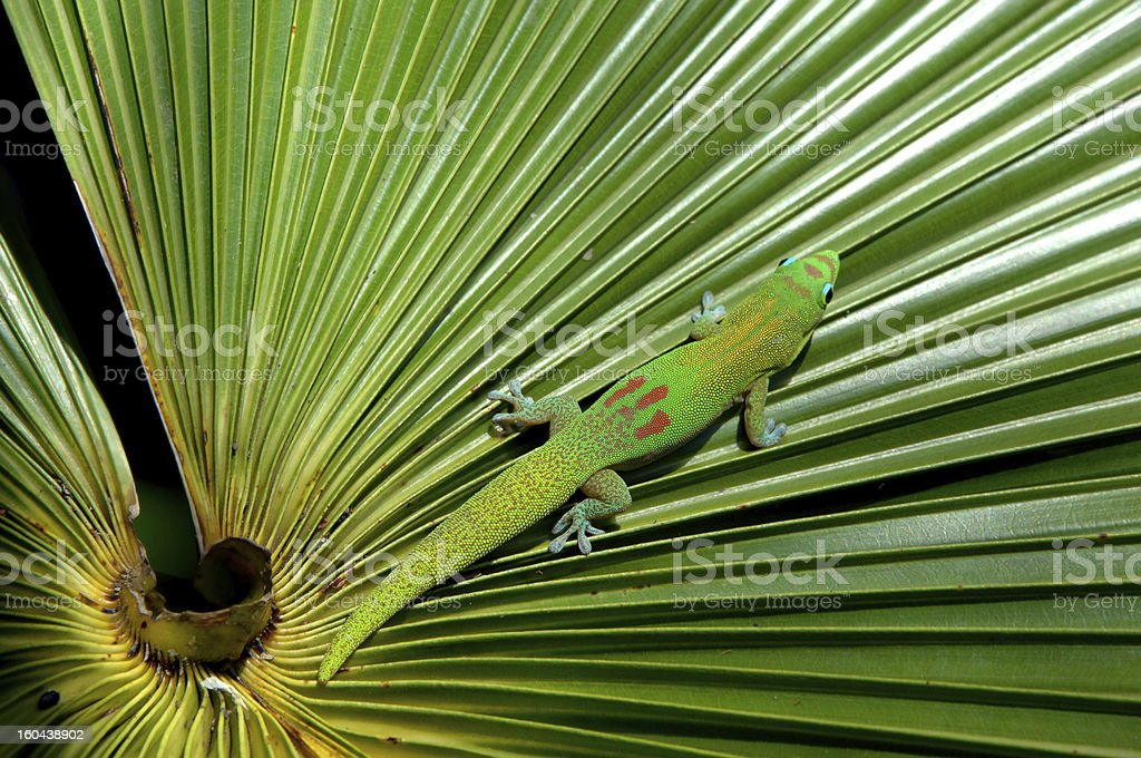 Camouflaged Gecko royalty-free stock photo