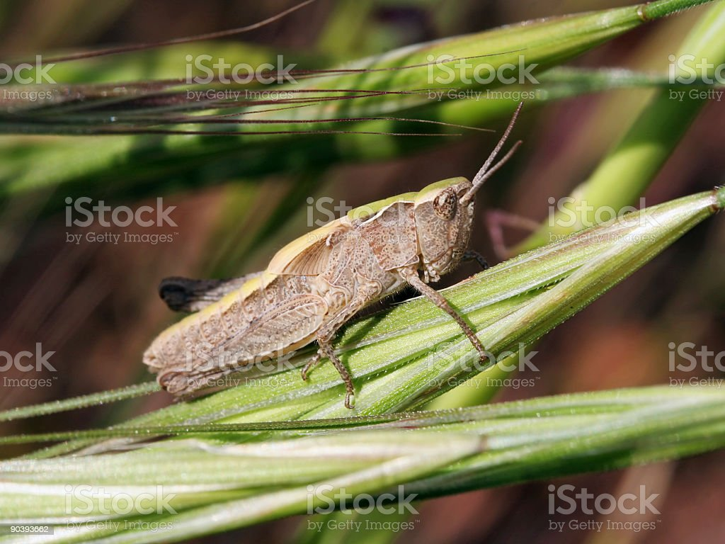 Camouflaged grasshopper 1 royalty-free stock photo