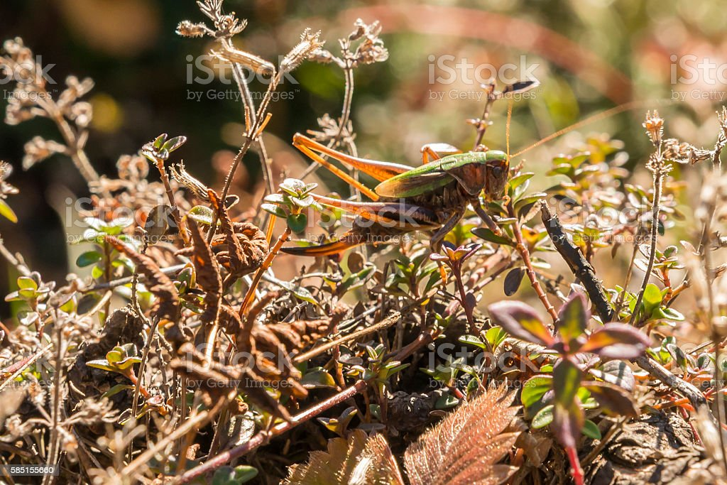 Camouflaged grasshopper on a limb  of a tree stock photo