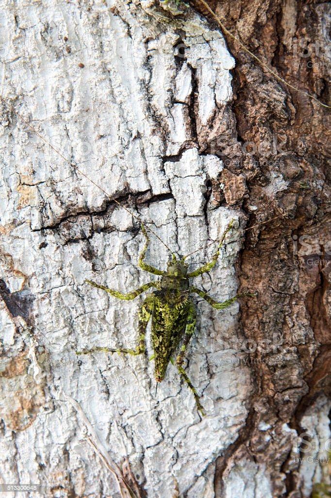 Camouflaged Grasshopper on Bare Bark stock photo