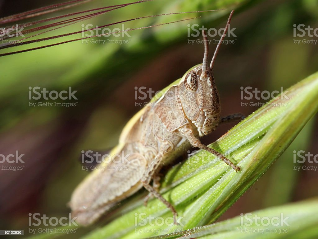 Camouflaged grasshopper royalty-free stock photo