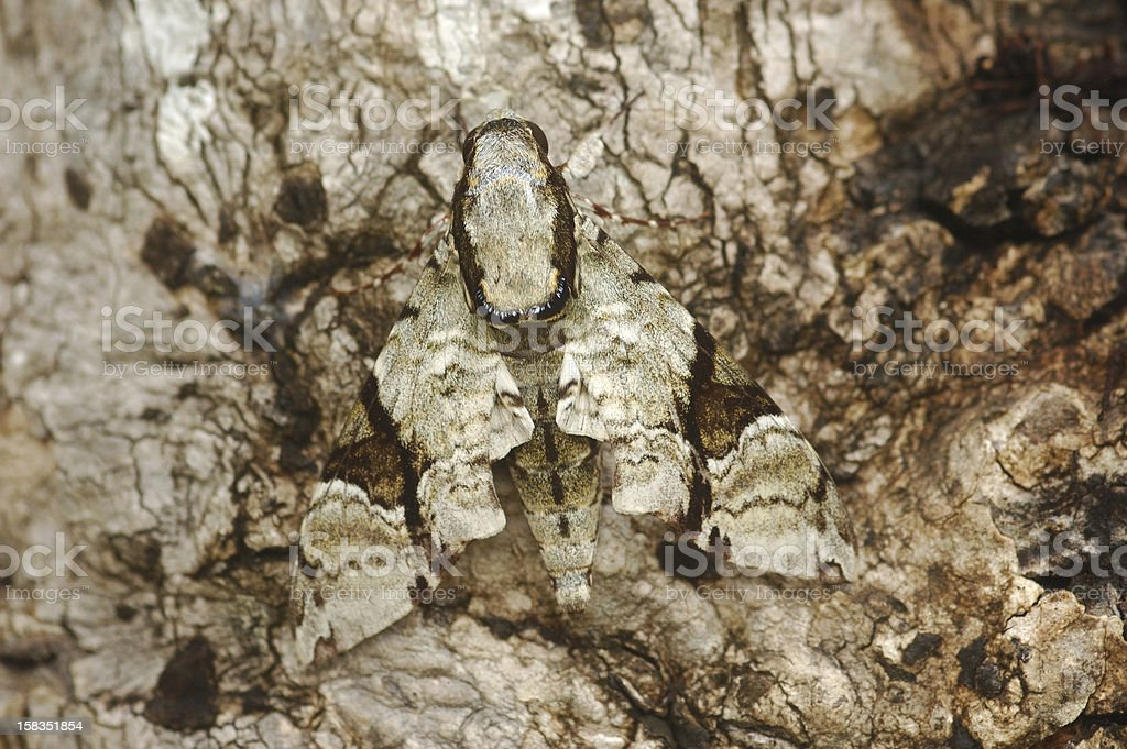 Camouflaged Hawk Moth (Megacorma obliqua) stock photo