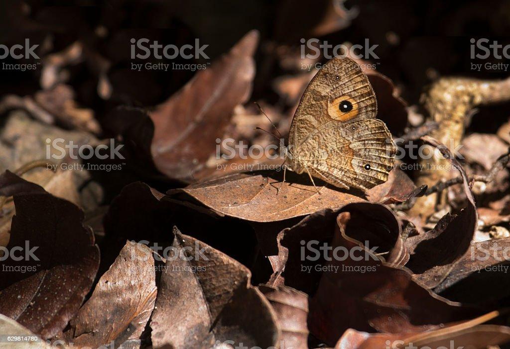 Camouflaged Madagascar eyespot butterfly rainforest Andasibe National Park stock photo