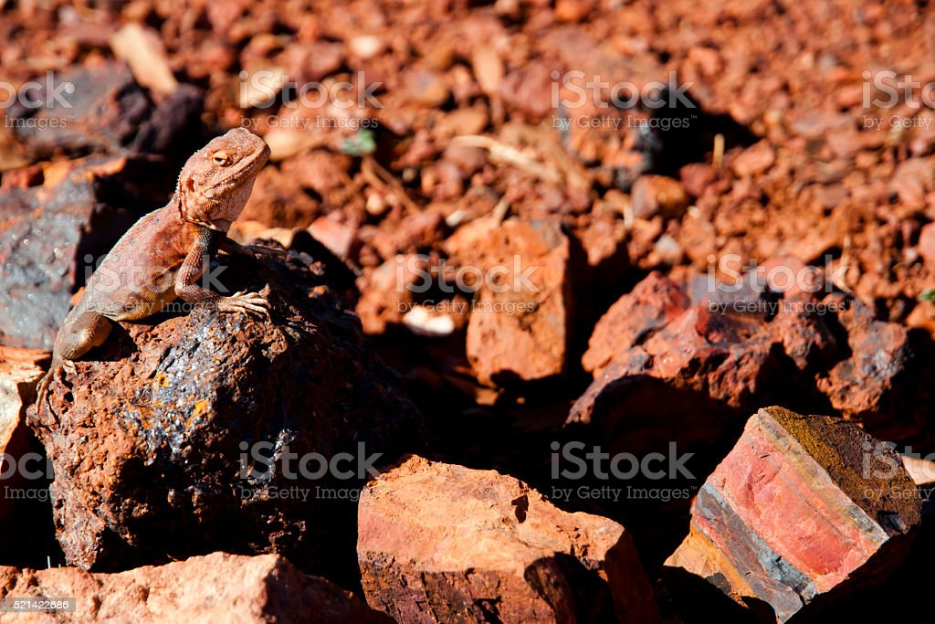 Camouflaged Monitor Lizard - Australia stock photo