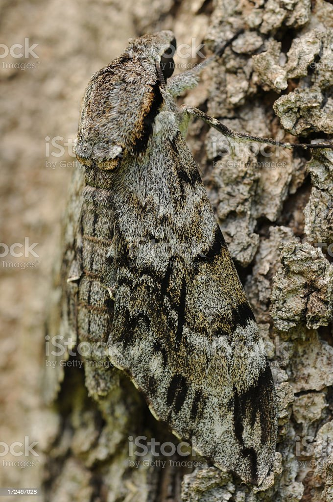 Camouflaged moth royalty-free stock photo
