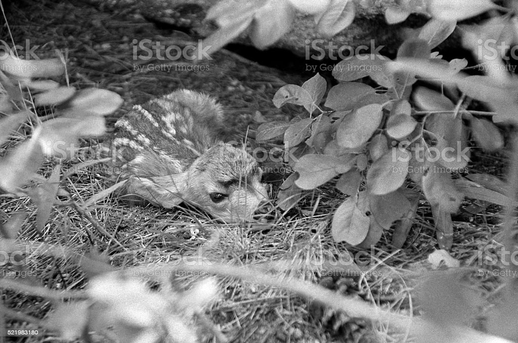 Camouflaged mule deer fawn motionless Colorado forest stock photo