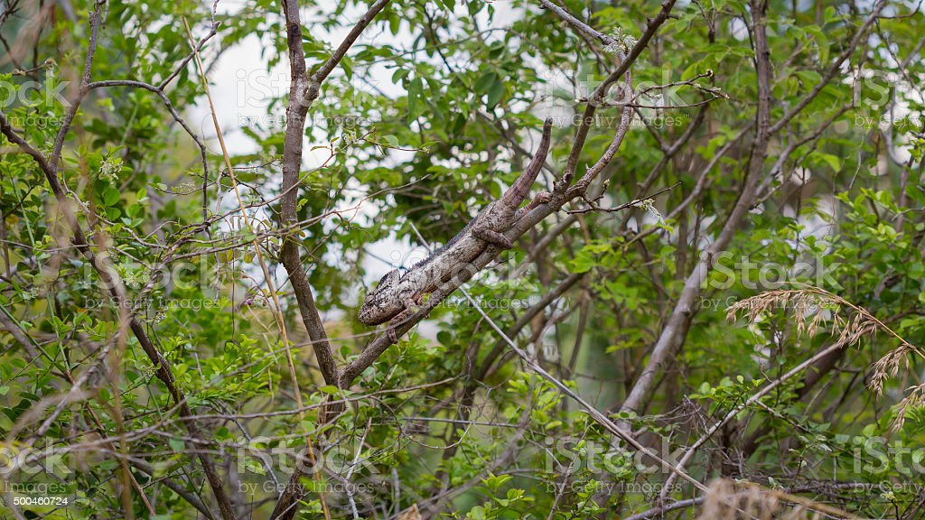 Camouflaged Oustalet Chameleon on a green jungle stock photo