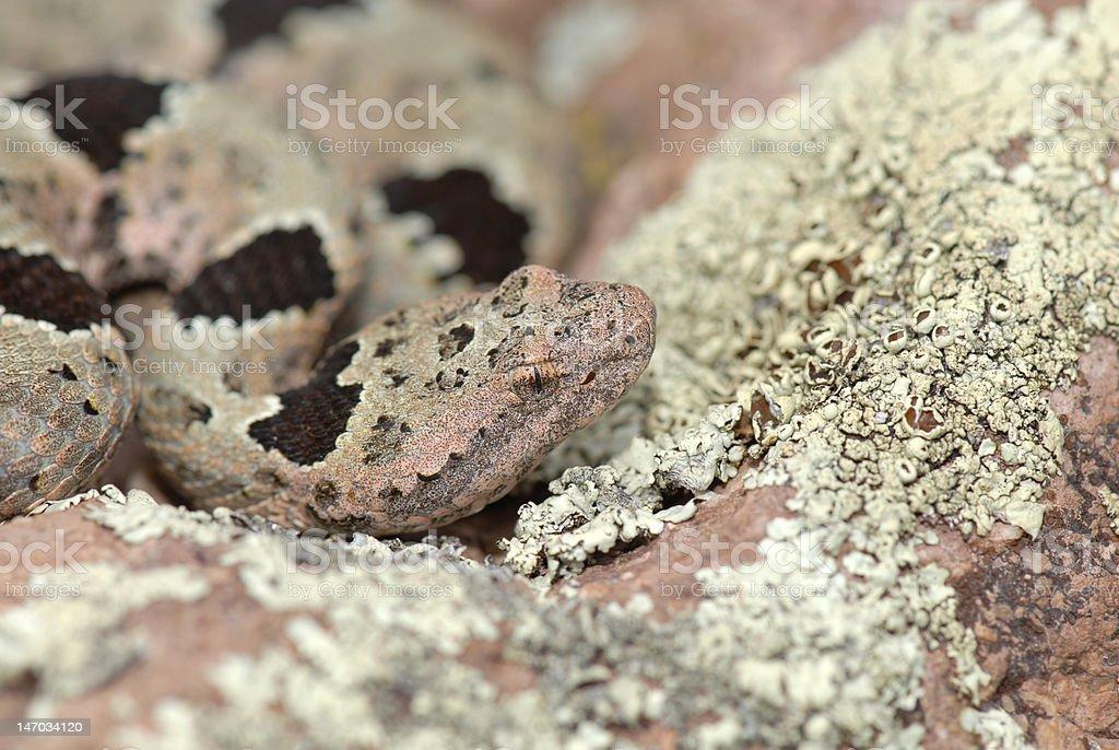 Camouflaged Rattlesnake stock photo