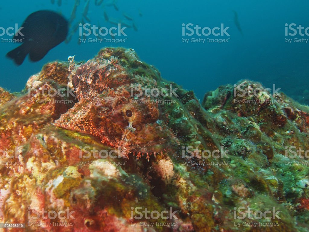 camouflaged scorpion fish on a rock stock photo
