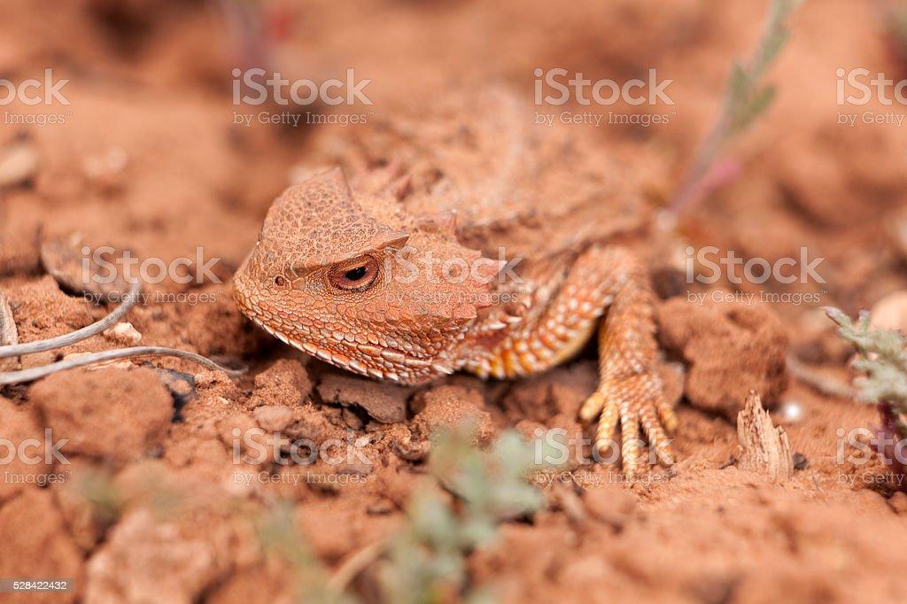 Camouflaged wild desert horned lizard Cedar Mesa Utah stock photo