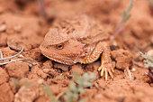 Camouflaged wild desert horned lizard Cedar Mesa Utah