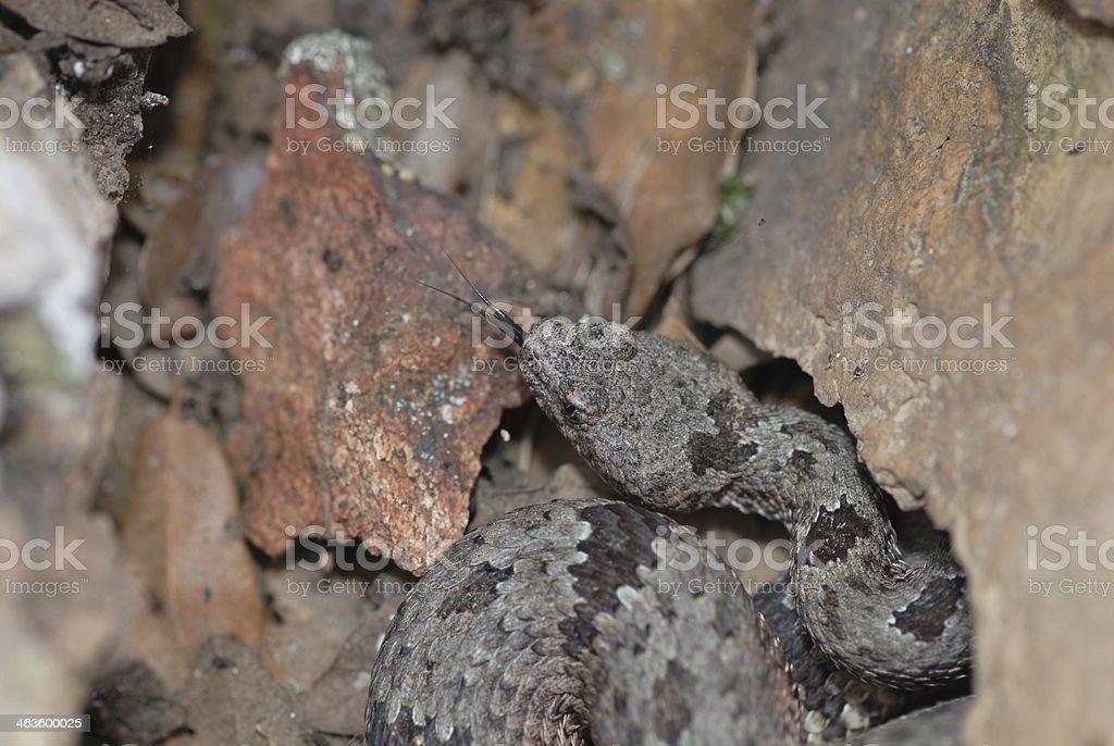 Camoulflaged Rattlesnake stock photo