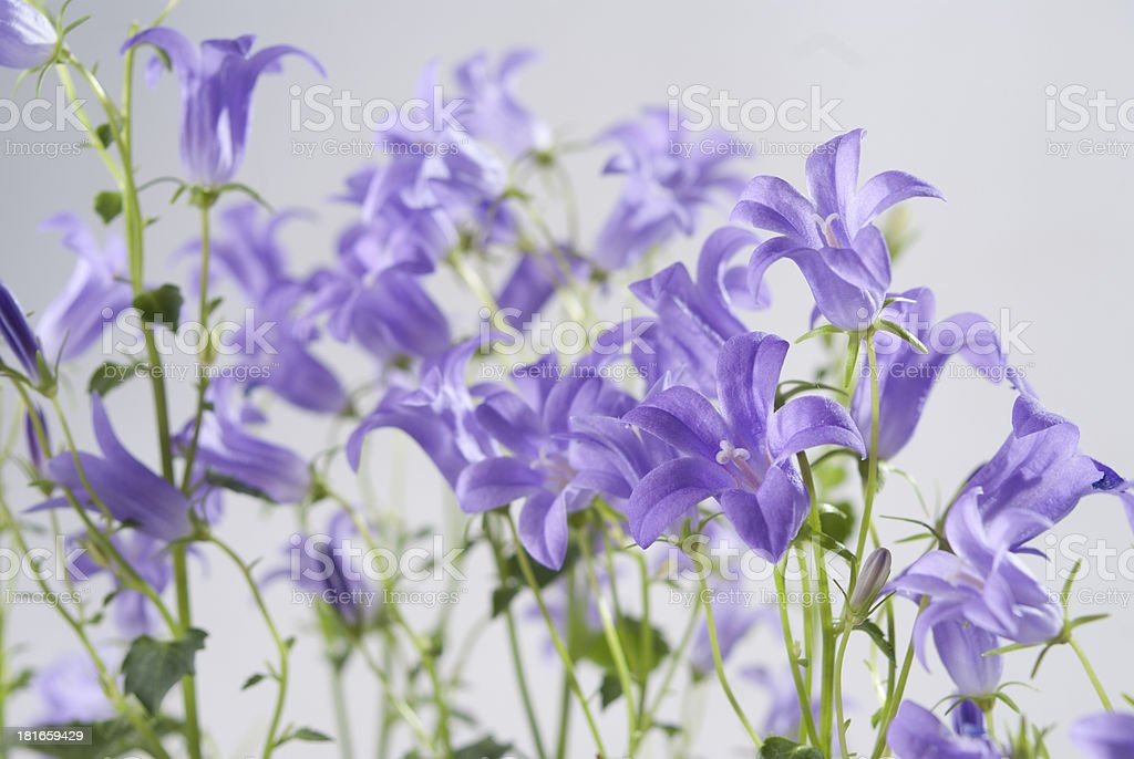 Campanula bell flowers on the grey background royalty-free stock photo