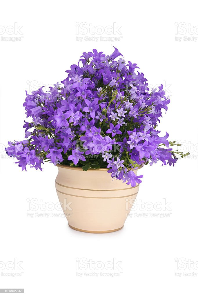 Campanula bell flowers stock photo