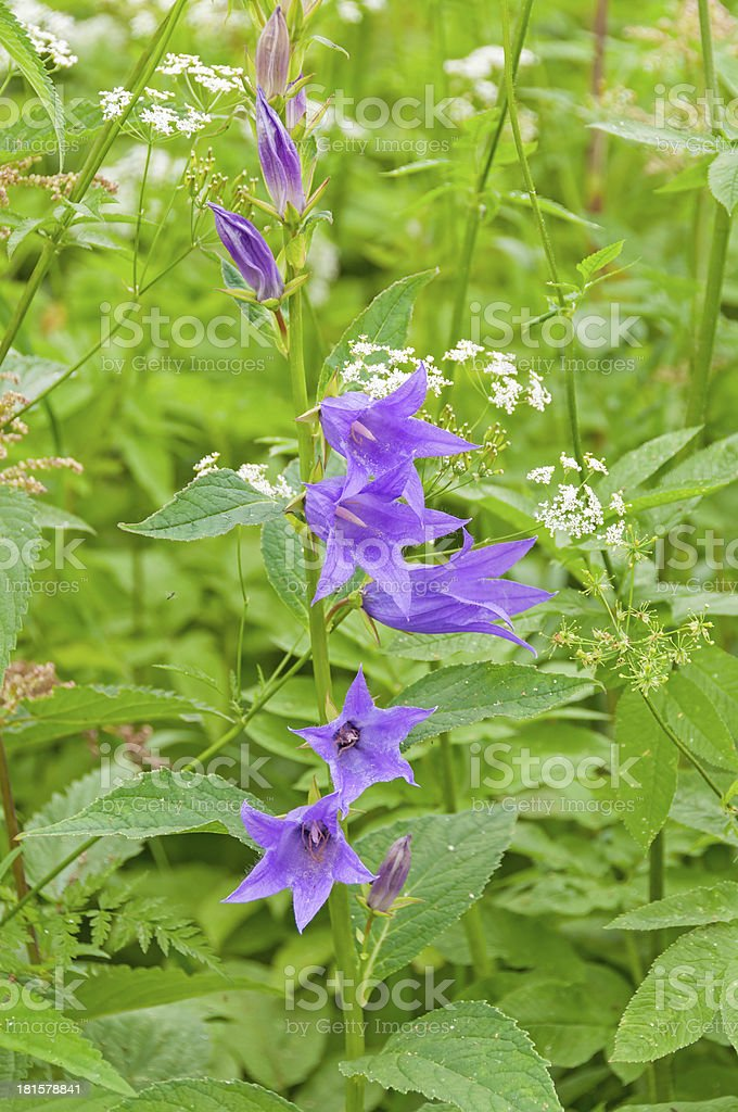 Campanula bellflower royalty-free stock photo