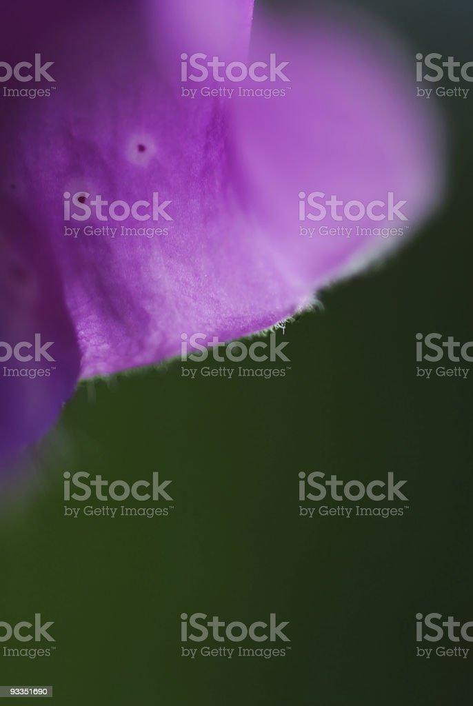 Campanula, bellflower royalty-free stock photo