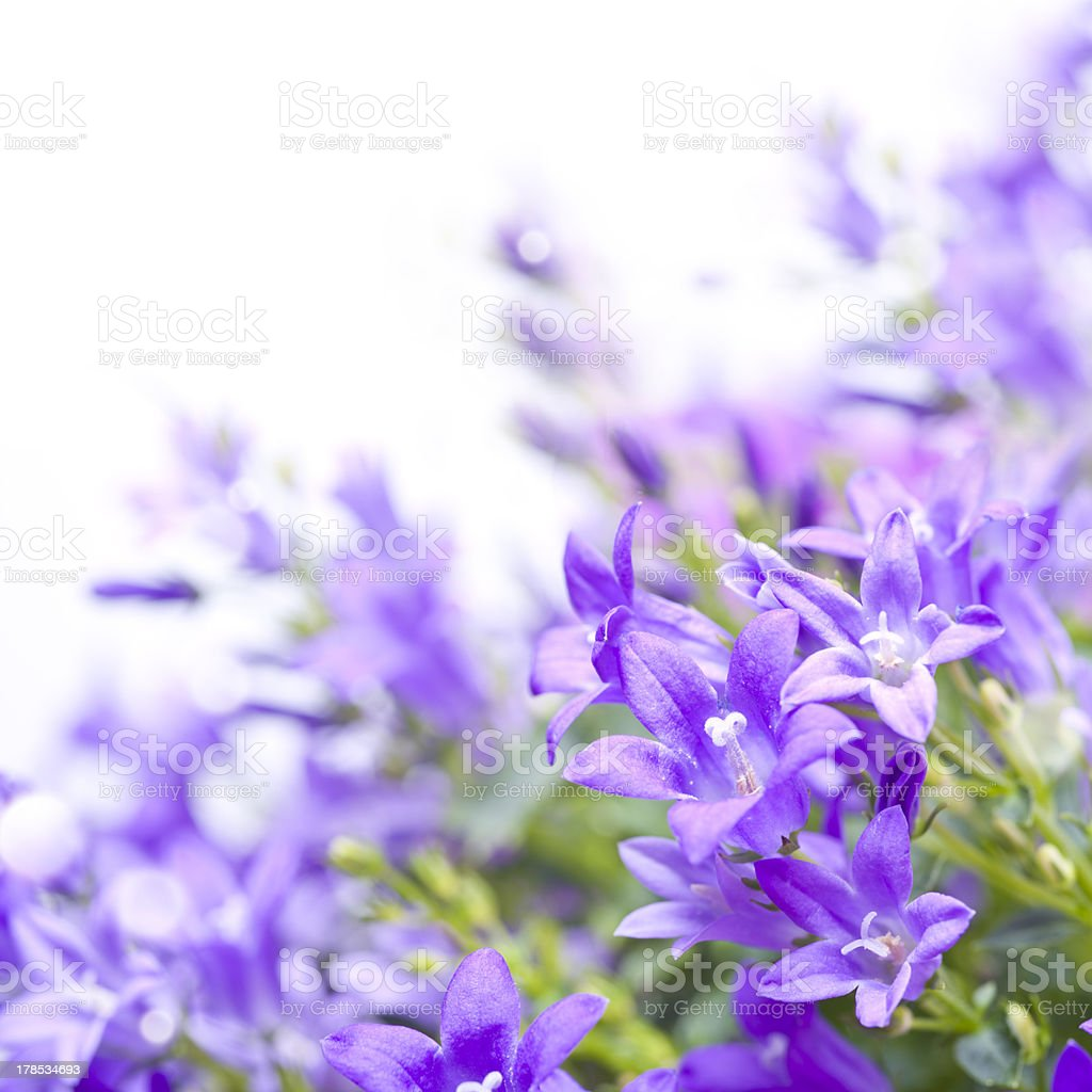 Campanula bellflowers on white background royalty-free stock photo