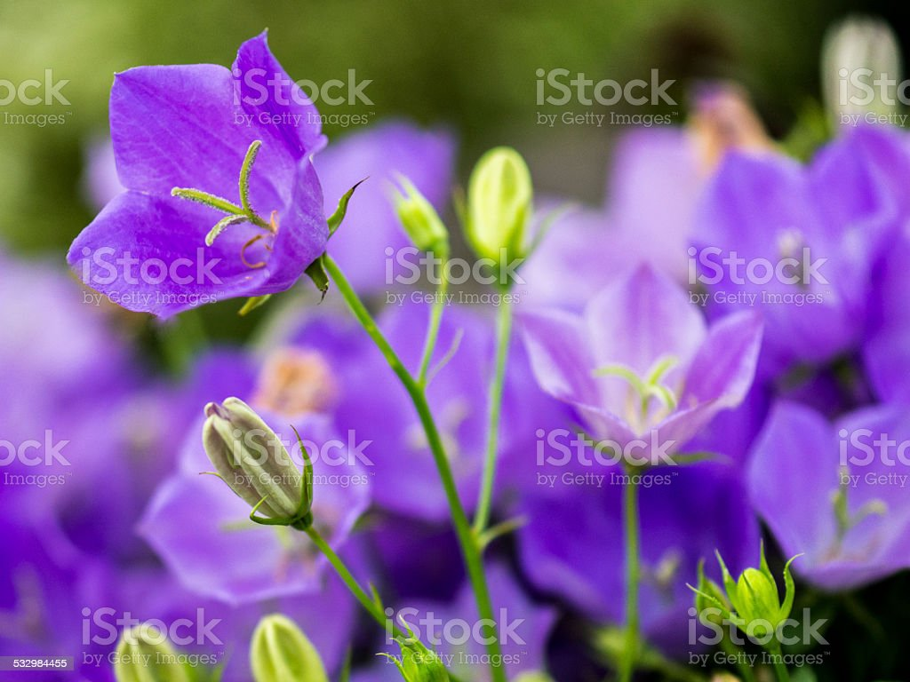 Campanula Blue stock photo