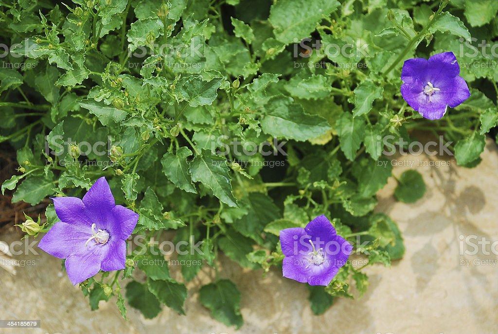 Campanula Carpatica stock photo