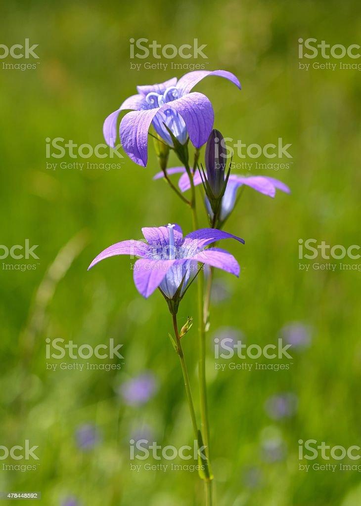 Campanula carpatica (Carpathian harebell, tussock bellflower) stock photo