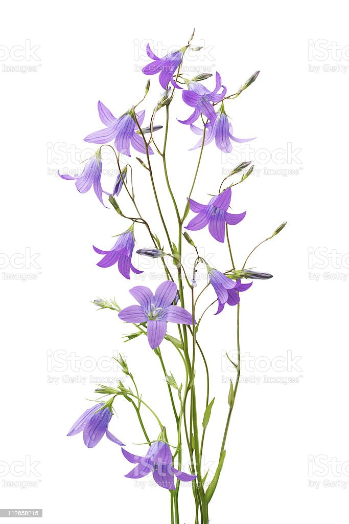 Campanula closeup on white background stock photo