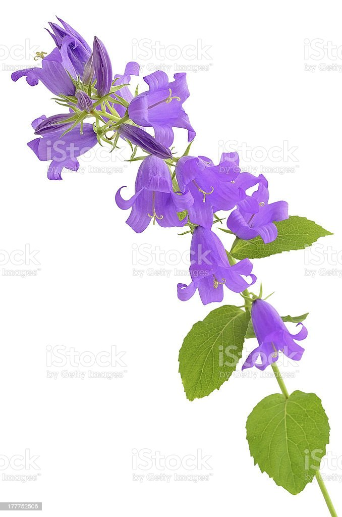 Campanula flower royalty-free stock photo