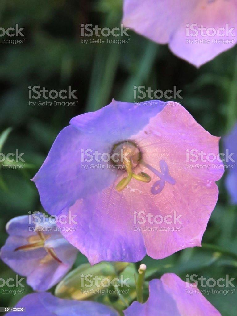 Campanula flower stock photo