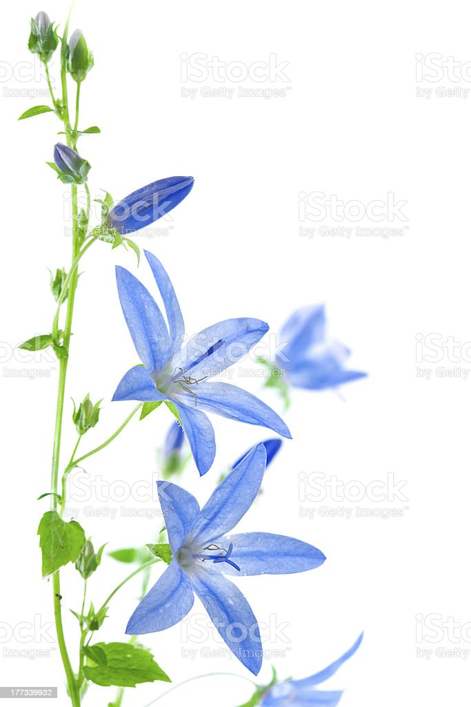 Campanula flowers isolated on white royalty-free stock photo