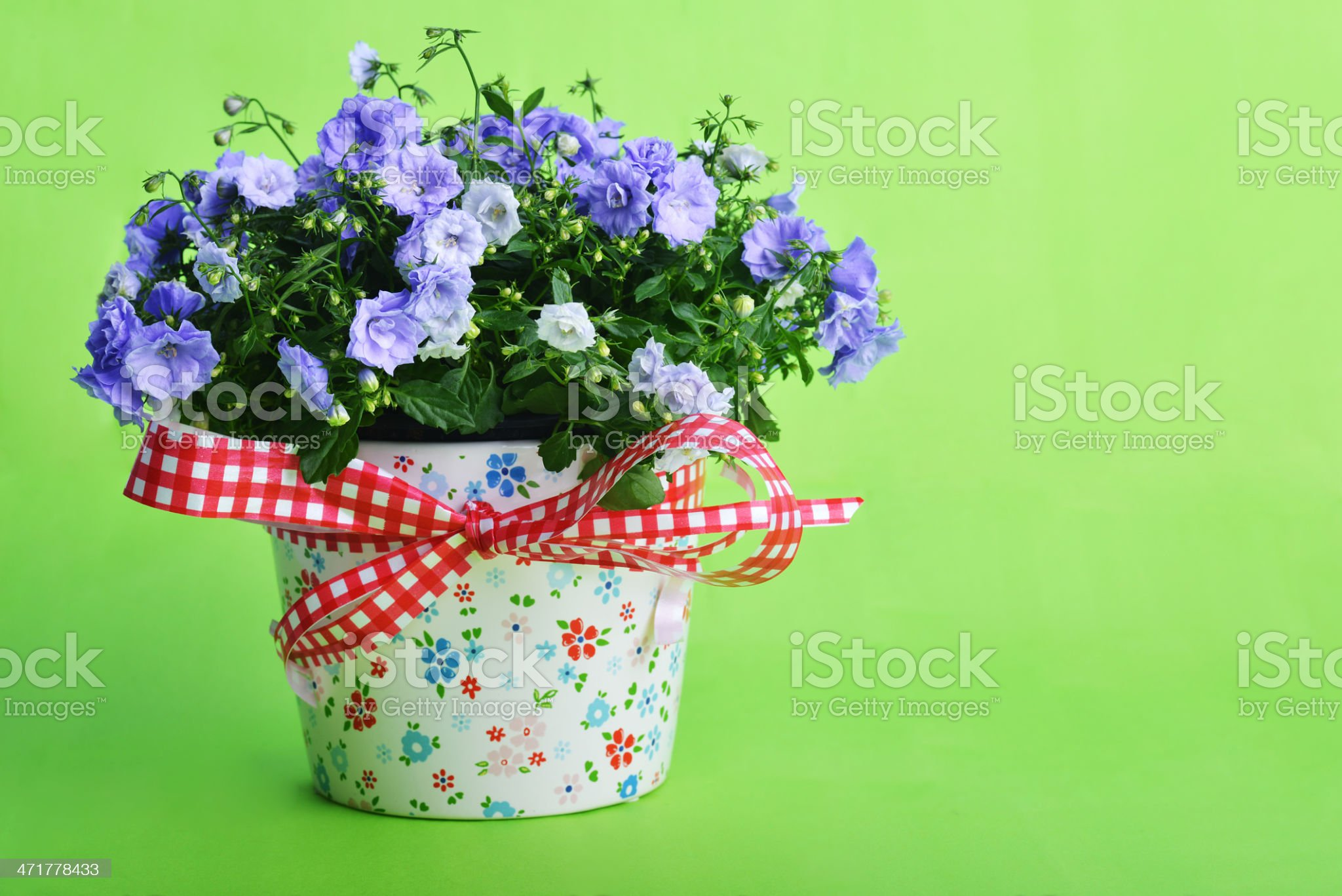 campanula flowers royalty-free stock photo