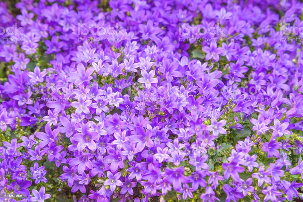 Campanula flowers stock photo
