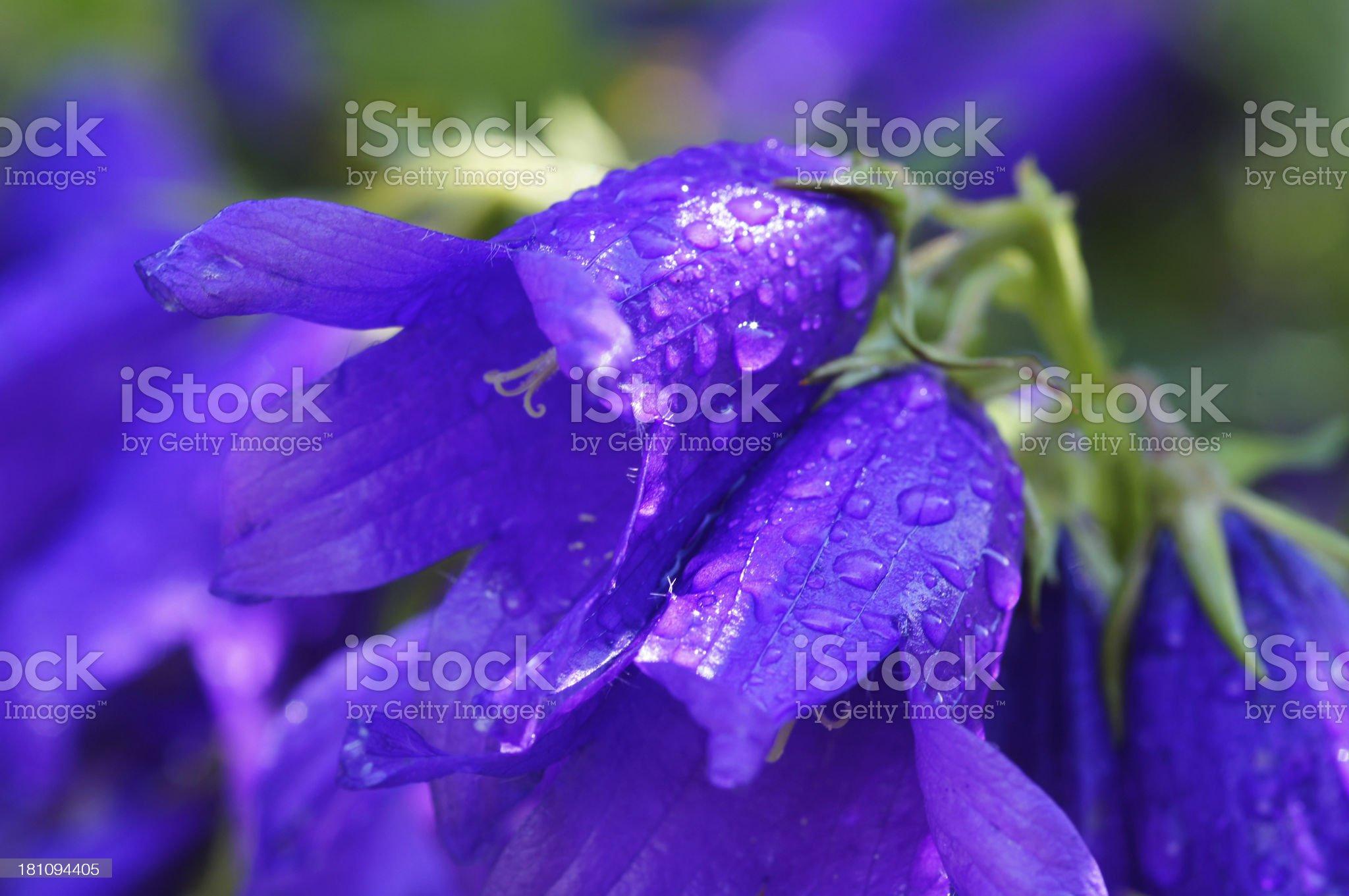 Campanula flowers with raindrops royalty-free stock photo