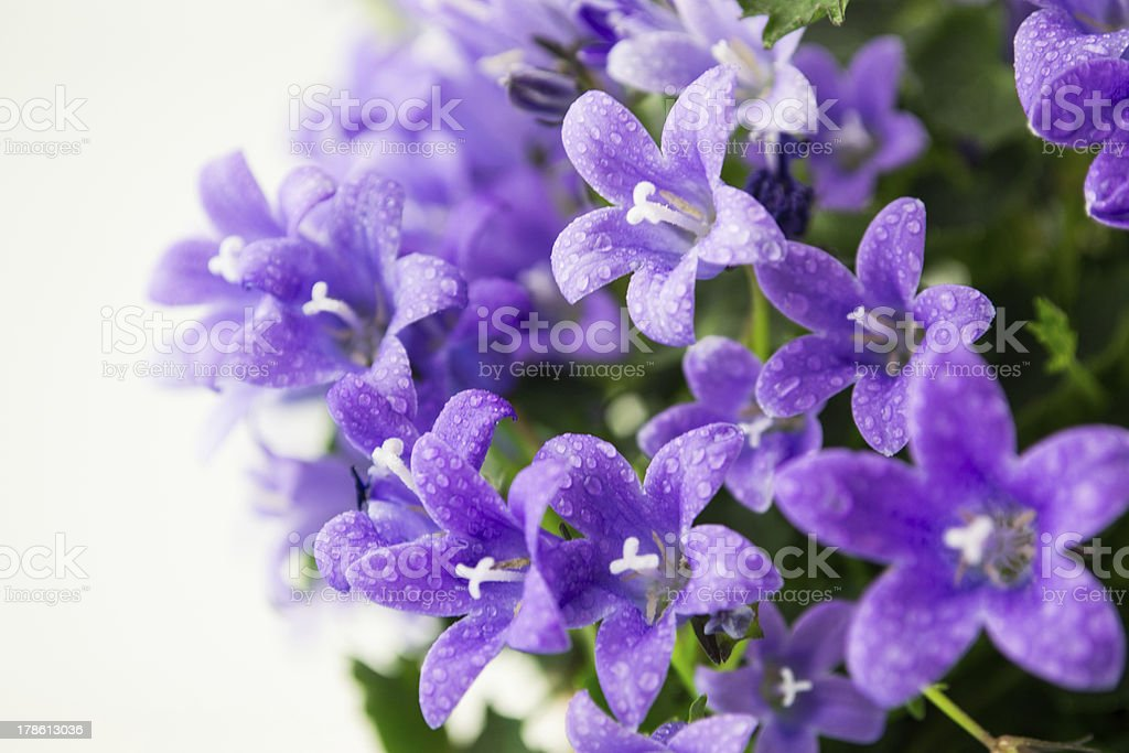 campanula or bellflowers with water drops on white royalty-free stock photo