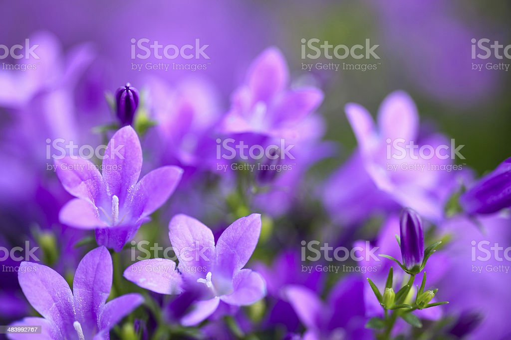 Campanula Portenschlagiana stock photo