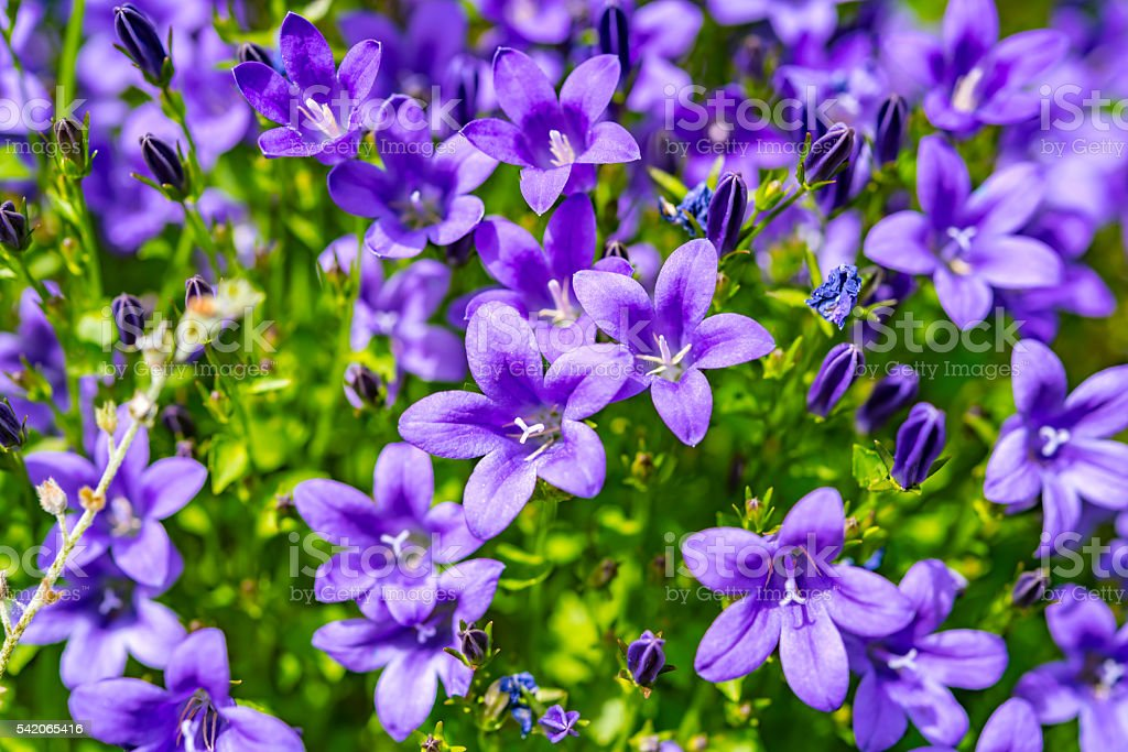 Campanula purple flowers and blue sky stock photo